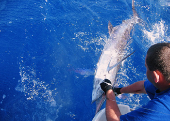 Fishing and catching Marlin on charter boat.